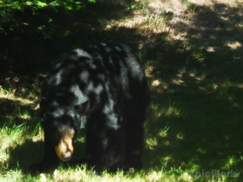 Algy met a bear. The bear was bulgy. The bulge as Algy. (Ursus americanus)