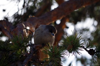 """Siberian Jay"" (Perisoreus infaustus). Thanks to Manu for the detailed ornithology during this trip."