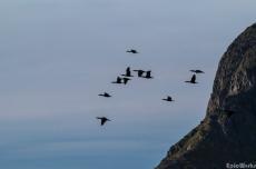 Cormorants heading their way