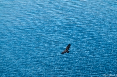 Sea eagle, high above the waves