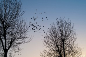 Dusk aproaches and the birds take to the sky.