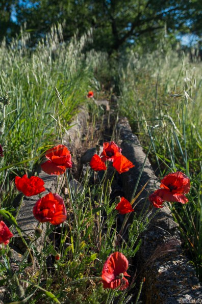Poppies in the irrigation line