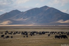 The herds start to cover the plains, roaming for food