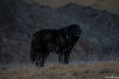 The famous tibetan barking dog