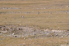 A lonley fox looks back at us as he runs clear of the road