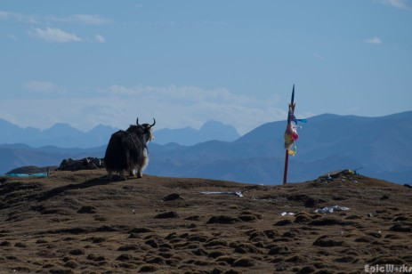 A lonely yak looks out from atop of the pass, maybe thinking of pastures long gone...