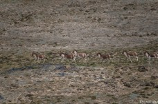 A herd of wild Kiangs (Equus kiang)