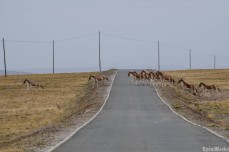 The herd runs across the road to try and rejoin their lost companion
