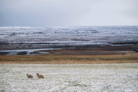 The sheep of Barthaladur